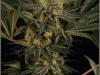 cheeskaberry-venus-genetics-variedad-semillas-marihuana-01