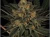 cheeskaberry-venus-genetics-variedad-semillas-marihuana-02
