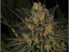 cheeskaberry-venus-genetics-variedad-semillas-marihuana-03