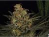 cheeskaberry-venus-genetics-variedad-semillas-marihuana-05