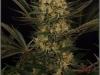 cheeskaberry-venus-genetics-variedad-semillas-marihuana-06