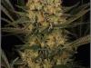 cheeskaberry-venus-genetics-variedad-semillas-marihuana-07