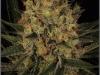 cheeskaberry-venus-genetics-variedad-semillas-marihuana-09