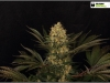 cheeskaberry-venus-genetics-variedad-semillas-marihuana-11