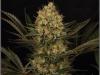cheeskaberry-venus-genetics-variedad-semillas-marihuana-12
