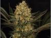 cheeskaberry-venus-genetics-variedad-semillas-marihuana-13