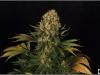 cheeskaberry-venus-genetics-variedad-semillas-marihuana-19