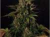 cheeskaberry-venus-genetics-variedad-semillas-marihuana-20