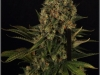cheeskaberry-venus-genetics-variedad-semillas-marihuana-21