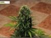 cheeskaberry-venus-genetics-variedad-semillas-marihuana-22