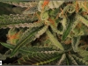 cheeskaberry-venus-genetics-variedad-semillas-marihuana-23