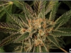 cheeskaberry-venus-genetics-variedad-semillas-marihuana-24