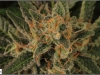 cheeskaberry-venus-genetics-variedad-semillas-marihuana-25