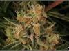 cheeskaberry-venus-genetics-variedad-semillas-marihuana-26