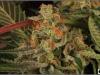cheeskaberry-venus-genetics-variedad-semillas-marihuana-27