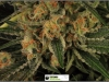 cheeskaberry-venus-genetics-variedad-semillas-marihuana-28