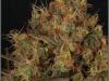 cheeskaberry-venus-genetics-variedad-semillas-marihuana-29
