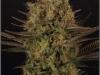 cheeskaberry-venus-genetics-variedad-semillas-marihuana-30