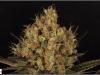 cheeskaberry-venus-genetics-variedad-semillas-marihuana-31