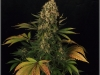 cheeskaberry-venus-genetics-variedad-semillas-marihuana-32