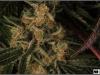 cheeskaberry-venus-genetics-variedad-semillas-marihuana-33
