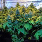 La importancia del aire en el cultivo indoor – Artículo Soft Secrets 2012-5
