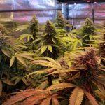 Cultivos de marihuana del siglo XXI, Artículo Soft Secrets 2013-1
