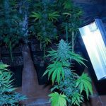 Prevención en cultivos de marihuana del siglo XXI – Artículo Soft Secrets 2013-3