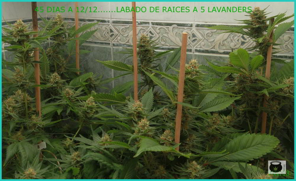 LAVADO-RAICES001
