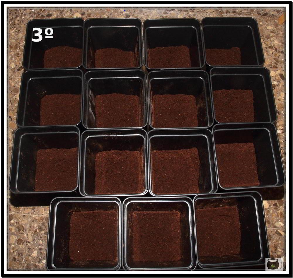 Trasplante de plantas de marihuana 3: Cómo y cuándo trasplantar la planta de marihuana paso a paso