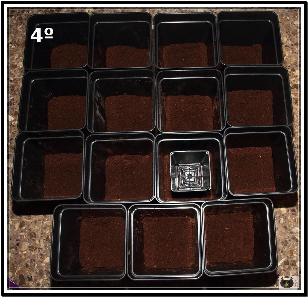 Trasplante de plantas de marihuana 4: Cómo y cuándo trasplantar la planta de marihuana paso a paso