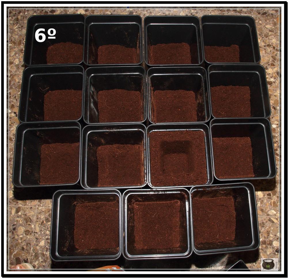 Trasplante de plantas de marihuana 6: Cómo y cuándo trasplantar la planta de marihuana paso a paso