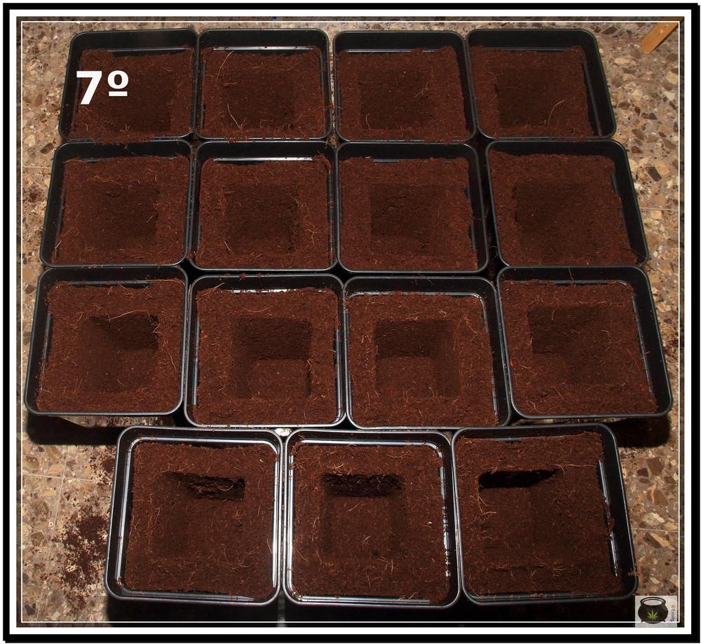 Trasplante de plantas de marihuana 7: Cómo y cuándo trasplantar la planta de marihuana paso a paso