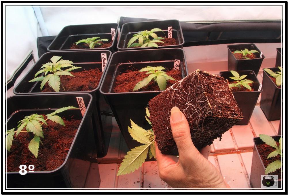 Planta recién trasplantada: Cómo y cuándo trasplantar la planta de marihuana paso a paso