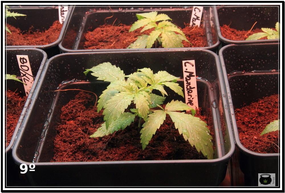 Planta de marihuana antes del trasplante: Cómo y cuándo trasplantar la planta de marihuana paso a paso