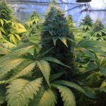 Parámetros óptimos en cultivos de marihuana – Artículo Soft Secrets 2012-3