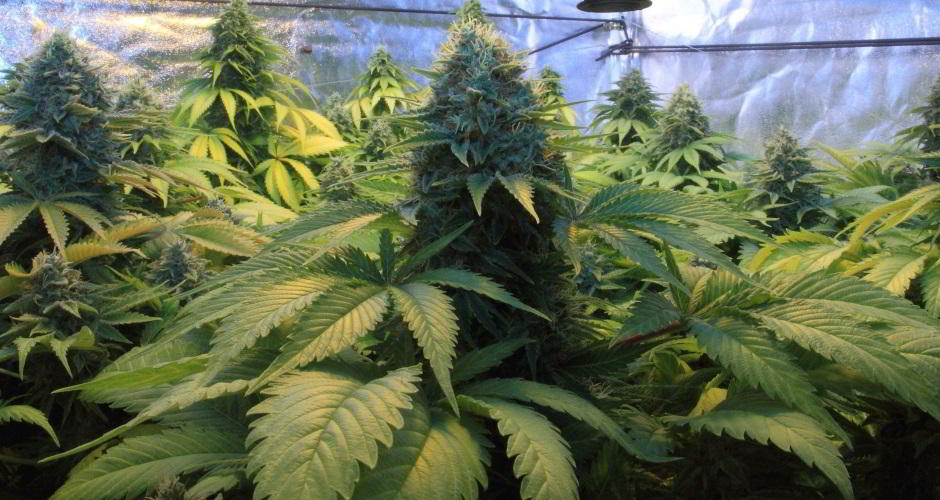 Cultivo marihuana interior en buen estado