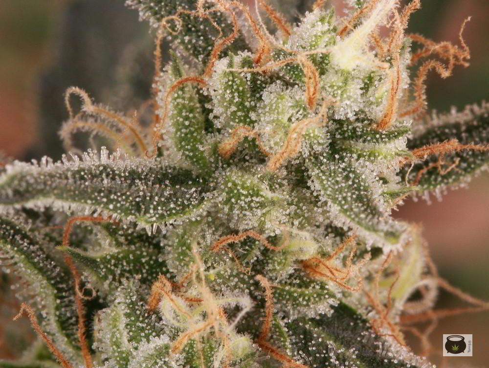 Cultivos de marihuana del siglo xxi art culo soft secrets for Produccion marihuana interior