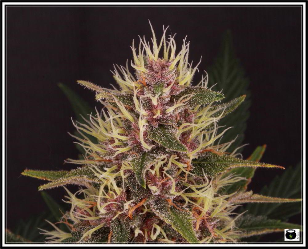 Selección variedad de marihuana la más roja 2