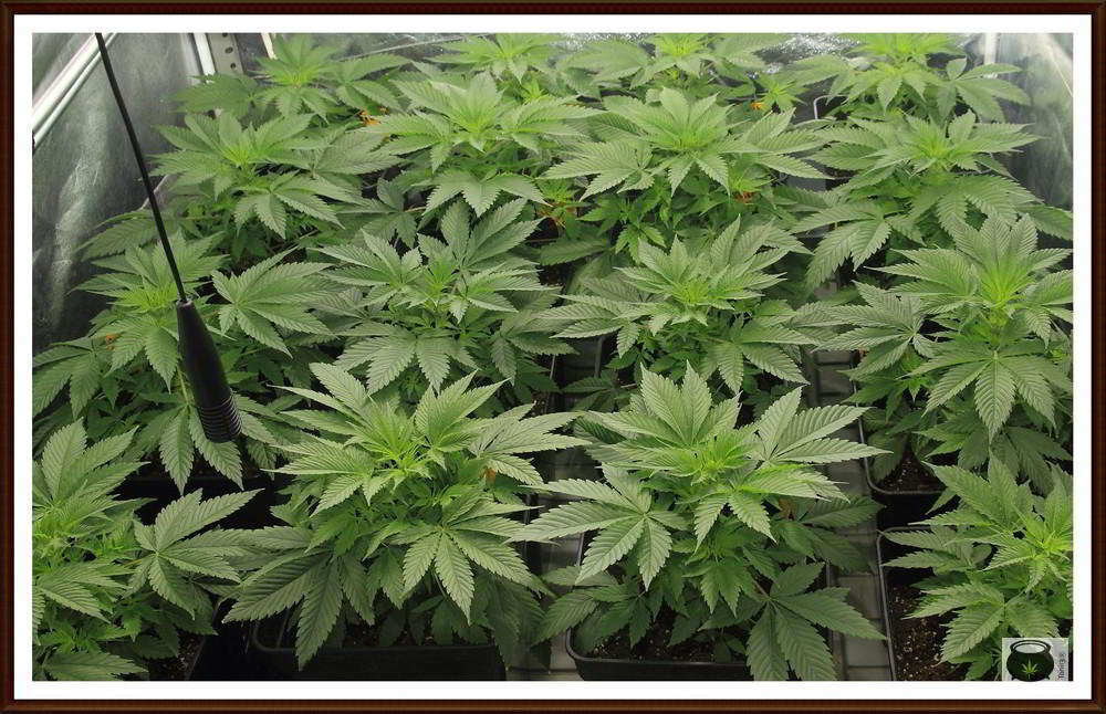 Plantas de marihuana saludables en crecimiento: Cómo regar plantas de marihuana.