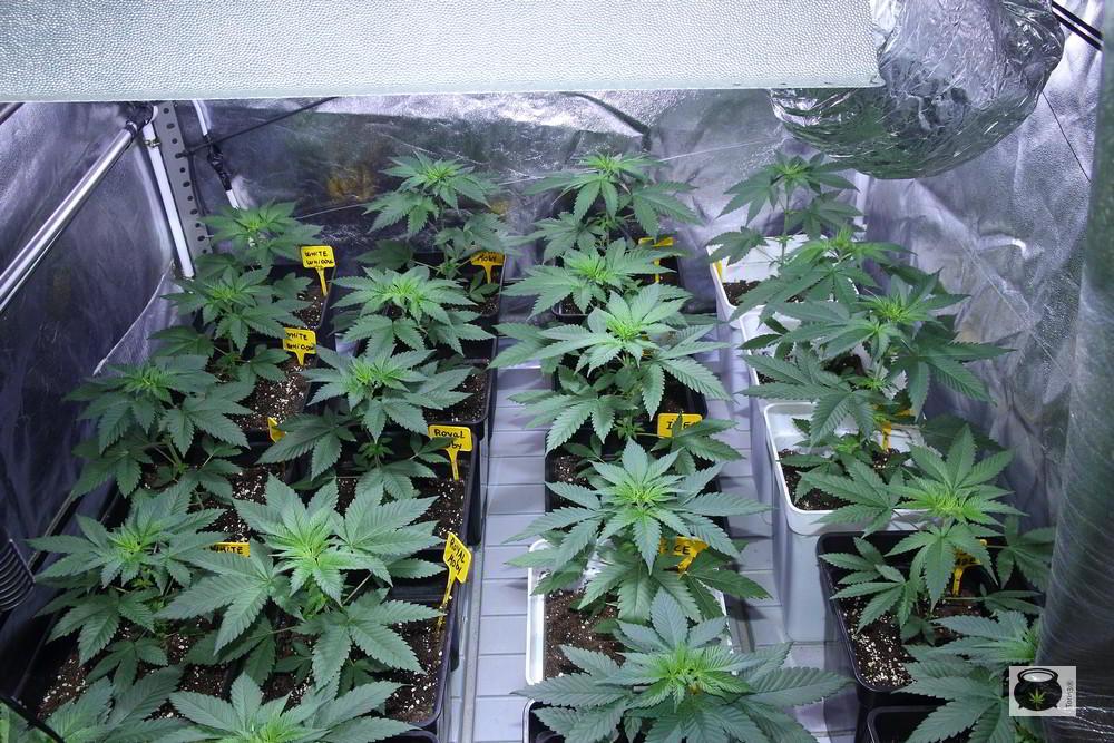 Consejos para evitar y prevenir plagas y hongos en cultivo de marihuana