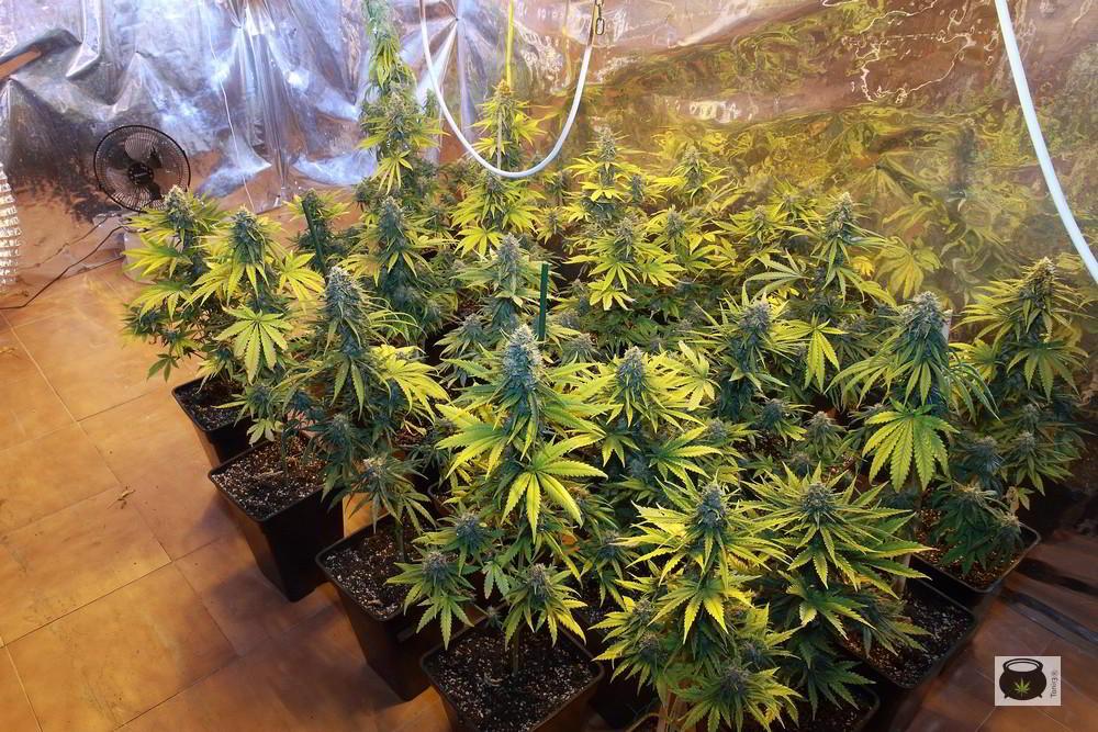 prevencion del cultivo de marihuana