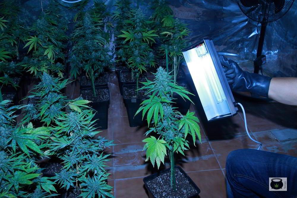 Cómo actuar contra el oidio en plantas de marihuana paso a paso