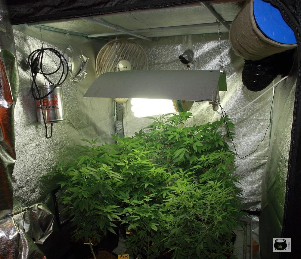 indoor cultivo de marihuana