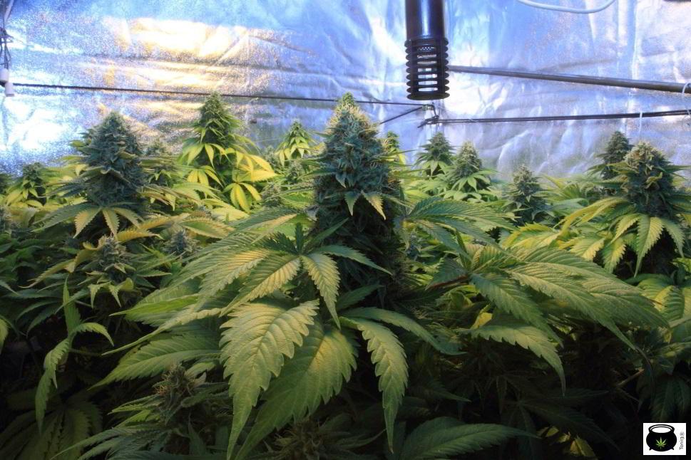 SOG de cultivo de marihuana de interior