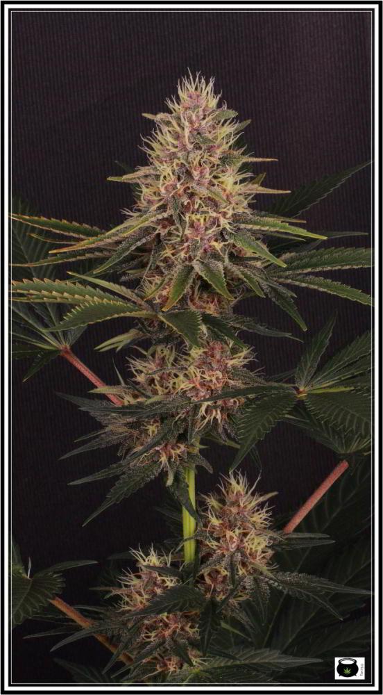 Seleccion variedad de marihuana la mas roja