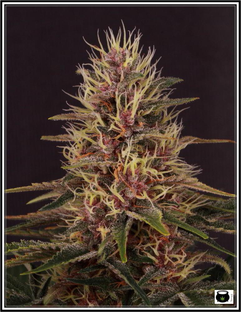 Selección variedad de marihuana la más roja 3