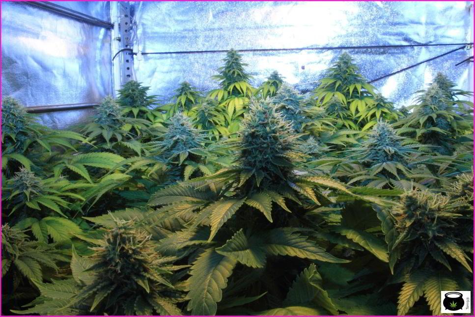 Salud en el cultivo de marihuana