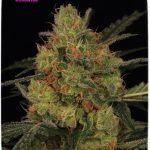Estrés en plantas de marihuana – Tipos y formas de evitarlo