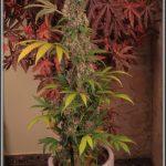 14- 19-7-2013 Variedad de marihuana Mr. Bubba. La planta al fondo a la derecha